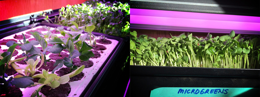 Simple ebb and flow tray system for microgreens and baby greens. {wholly rooted}