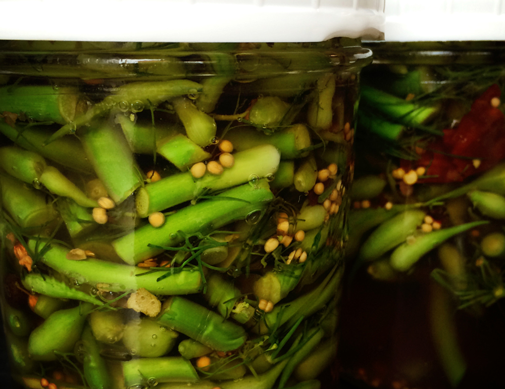 radish pod-garlic scape refrigerator pickle {wholly rooted}