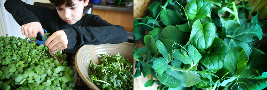 Harvesting Microgreens. {wholly rooted}